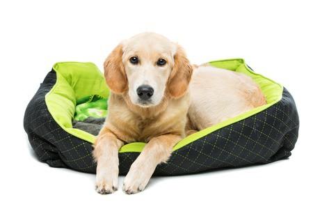 golden retriever dog lying on green puppy pillow.
