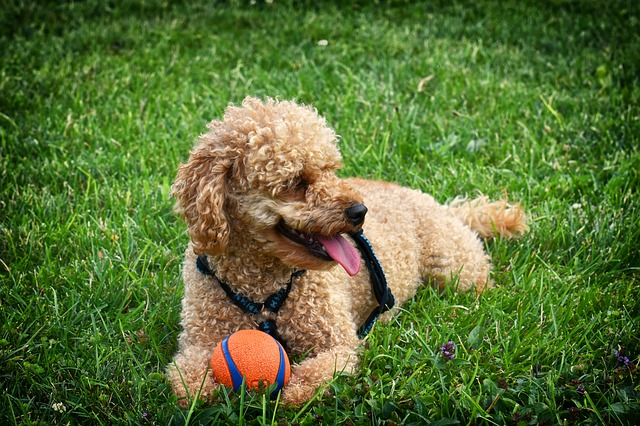 canine toy training