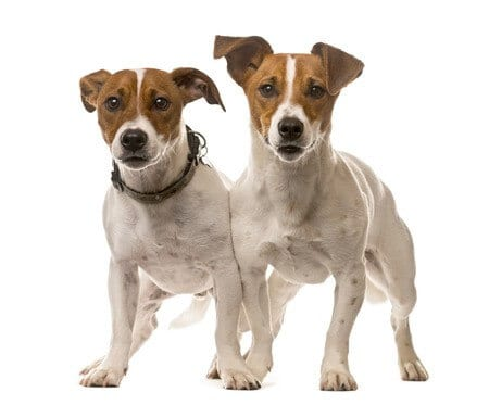 Types of Terrier Dogs How to Look After Terriers