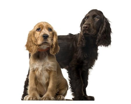 Types of Spaniel Dogs How to Look After a Spaniel