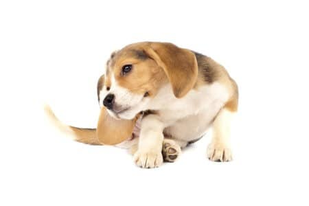 Dog Skin Problems Itching Scratching