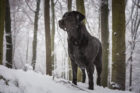 Does My Labrador Need A Coat In Winter Paws Plus One